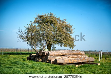 Felled tree trunks in a vineyard stacked neatly under a tree waiting for collection by a logging truck. conceptual of the forestry, lumber, energy and agriculture industries - stock photo