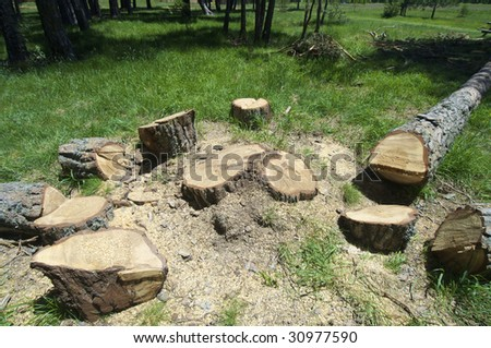felling in a pine forest - stock photo