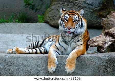 Femail Bengel Tiger - stock photo