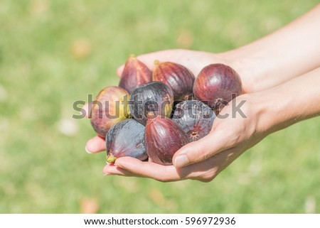 Female adult hands holding fresh picked purple figs with green grass background.