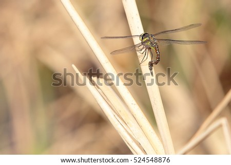 Female Aeshna mixta, the migrant hawker dragonfly, laying eggs in the stem of a dried reed, at the outflow of the Petra Gorge, near Rethymnon, Crete. The species appears to be colonising the island