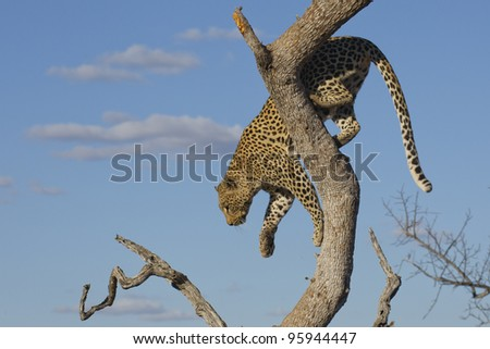 Female African Leopard (Panthera pardus) climbing down a tree in South Africa - stock photo