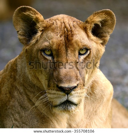 Female African lion head focus at face and eye