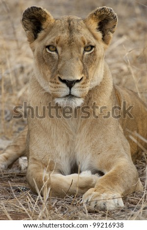 Female african lion (Panthera leo)