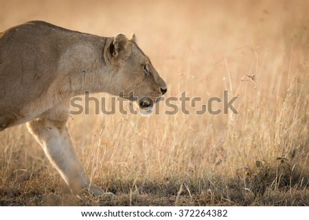 Lioness Stock Photos, Royalty-Free Images & Vectors ...