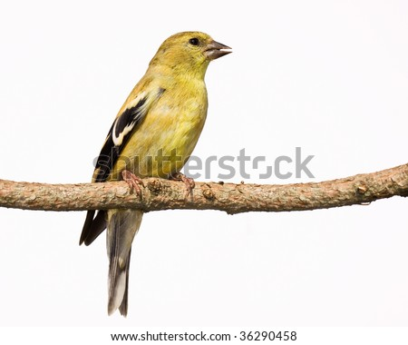 female american goldfinch sings a song while perched on a branch. white background