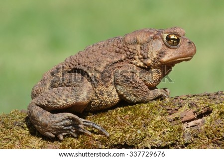 Female American Toad (Bufo americanus) with a green background - stock photo