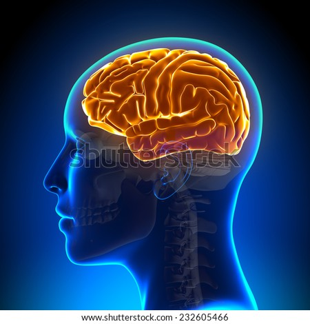 Female Anatomy Brain Full - stock photo