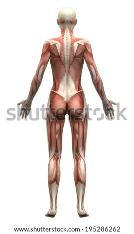 Female Anatomy Muscles - Posterior view - stock photo