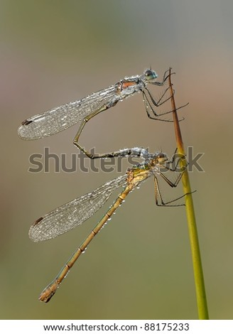 Female and Male Common Emerald Damselfly (Lestes sponsa) perched on a piece of reed with dewdrops
