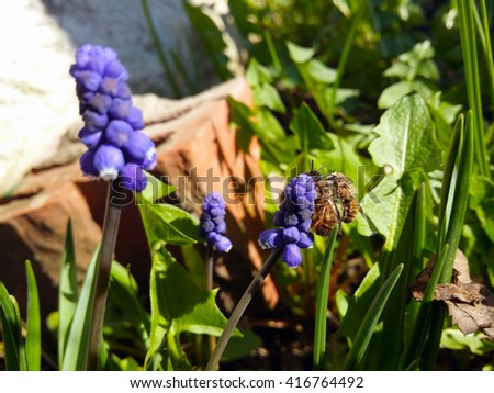 Female and male drone bee mating on a Blue Flowers Murine Hyacinth Buds (view 1) - stock photo