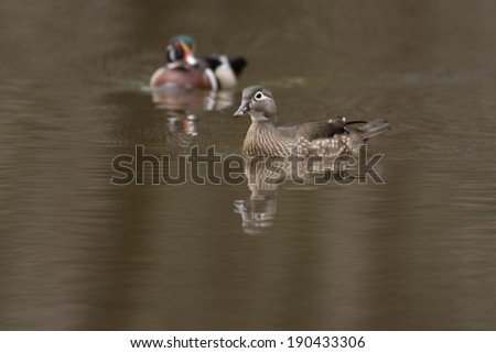 Female and male wood duck swimming in a small pond in the spring - stock photo
