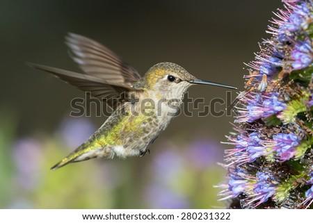 Female Anna's Hummingbird  - stock photo