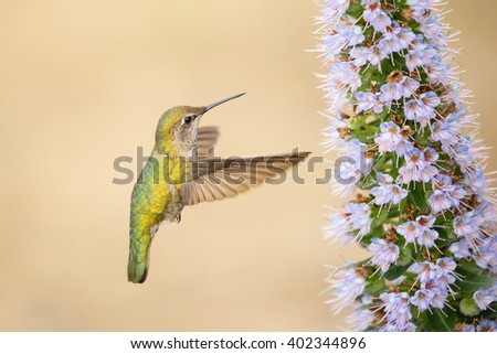 Female Anna's Hummingbird Flying and Purple Pride of Madeira