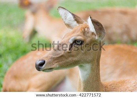 Female Antelope in zoo thailand