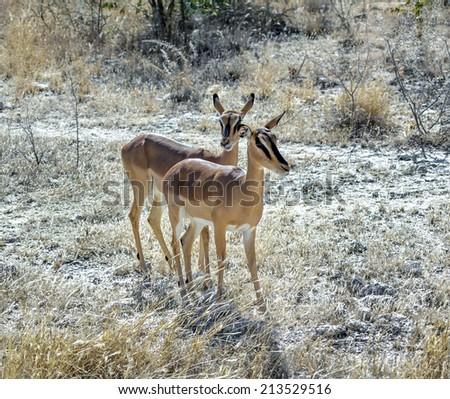 Female antelopes Kudu (Tragelaphus strepsiceros) at the forest in Etosha National Park - Namibia, South-West Africa - stock photo