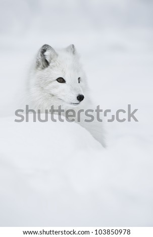 Female Arctic Fox Her Full Winter Foto de stock (editar ahora ...