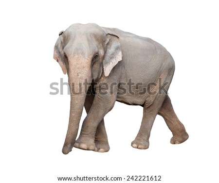 female asia elephant isolated on white background