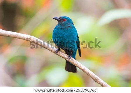 Female Asian Fairy-Bluebird (Irena puella)