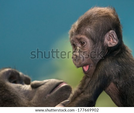 Female baby gorilla climbing on her mother  - stock photo