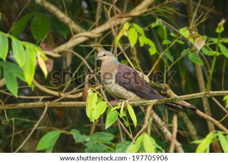 Female Barred Cuckoo Dove(Macropygia unchall)  in  nature of Thailand   - stock photo