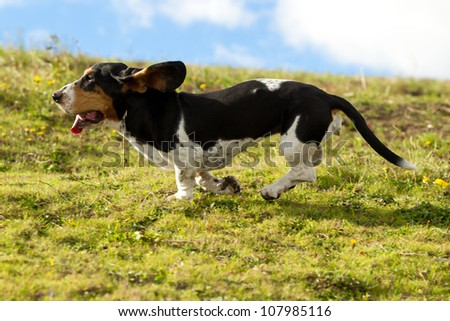 Female Basset Hound chasing prey shot from low angle at full running speed. - stock photo