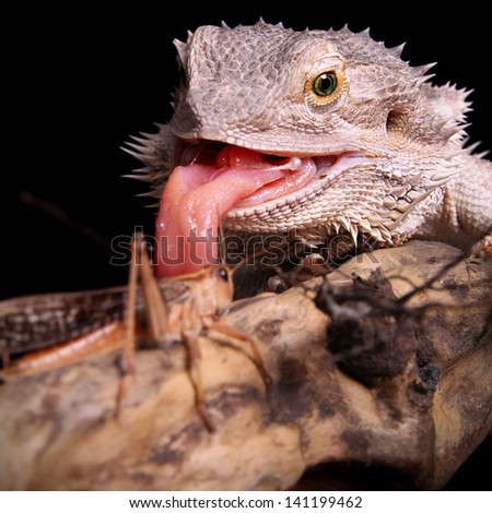 female bearded dragon catching grasshopper - stock photo