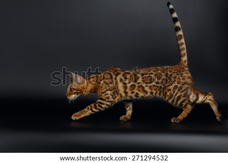 Female Bengal Cat Run on Black Background - stock photo