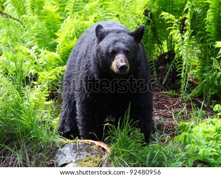 Female Black Bear - stock photo