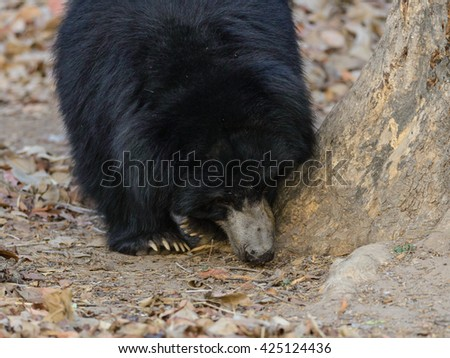 Female Black Bear in the forest.