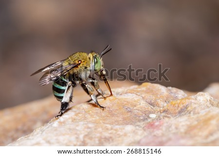 Female blue banded bee is sucking food from the rock - stock photo