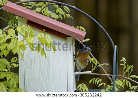 Female Bluebird sits on her birdhouse bringing food to her babies. - stock photo