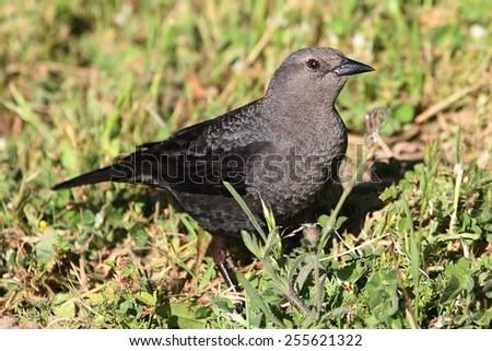 Female Brewers Blackbird (Euphagus cyanocephalus) on the ground - stock photo