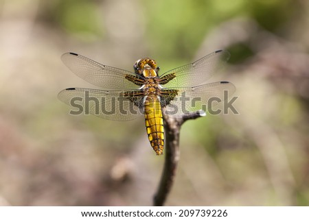 Female broad-bodied chaser - stock photo