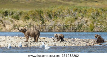Female brown bear and her spring cubs