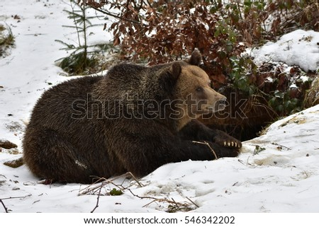 female brown bear with its young in front of lair