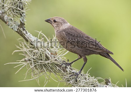 Female Brown Headed Cowbird on Mossy Branch - stock photo