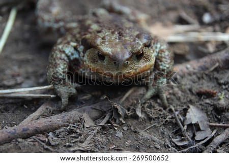 female brown toad in a frontal view - stock photo