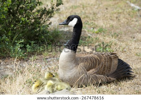 Female Canada goose, scientific name Branta canadensis, nesting with her exhausted goslings.  - stock photo