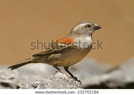 Female Cape Sparrow; Passer melanurus