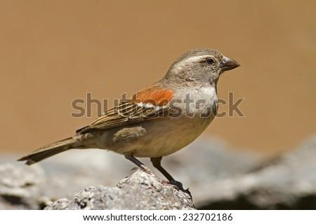 Female Cape Sparrow; Passer melanurus - stock photo
