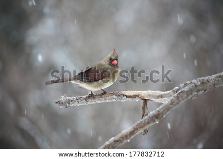 female cardinal in a snowstorm - stock photo