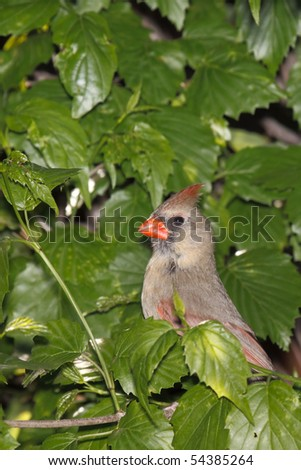 female cardinal peeks out of its bushy hiding spot - stock photo