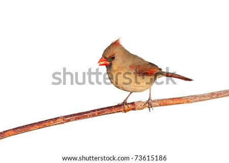 female cardinal perched on a branch eating a safflower seed, white background