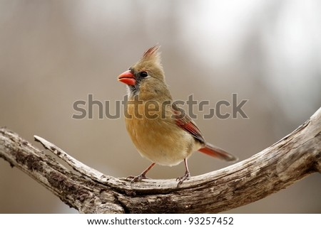 Female Cardinal posing for me by my bird feeder in Missouri. - stock photo