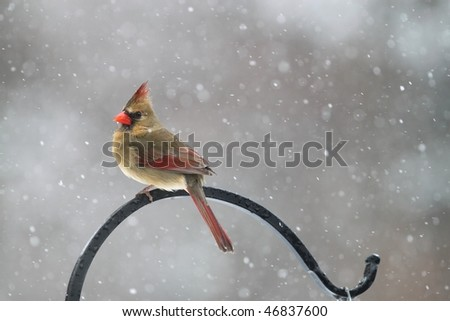 female cardinal sitting in a snowstorm - stock photo