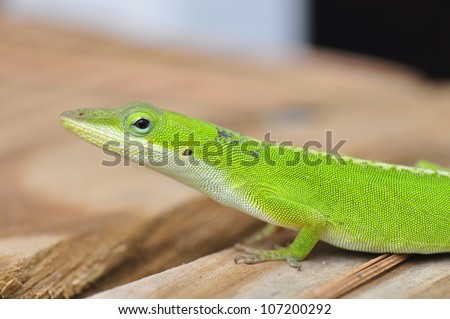 Female Carolina Anole with molting skin basking in the North Carolina sun on a porch