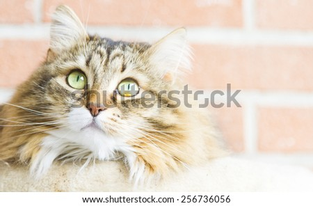 female cat of siberian breed, brown with white version - stock photo