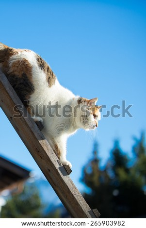 female cat walking down a woodenb ladder at blue sky  - stock photo