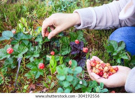 Female Caucasian hands gathering fresh cloudberries at forest swamp in north
